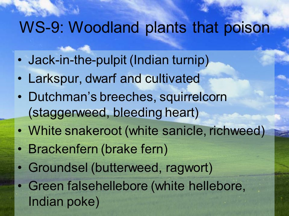 WS-9: Woodland plants that poison Jack-in-the-pulpit (Indian turnip) Larkspur, dwarf and cultivated Dutchman's breeches, squirrelcorn (staggerweed, bleeding heart) White snakeroot (white sanicle, richweed) Brackenfern (brake fern) Groundsel (butterweed, ragwort) Green falsehellebore (white hellebore, Indian poke)