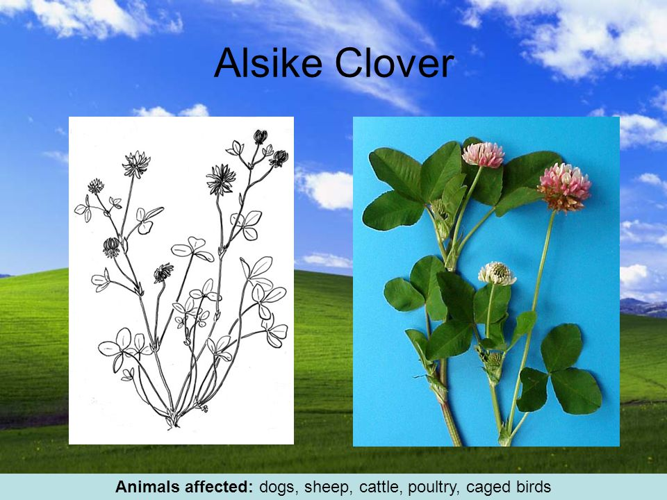 Alsike Clover Animals affected: dogs, sheep, cattle, poultry, caged birds