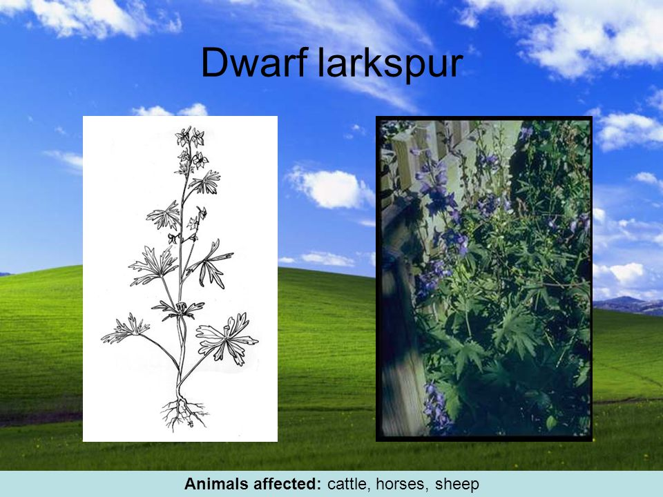 Dwarf larkspur Animals affected: cattle, horses, sheep