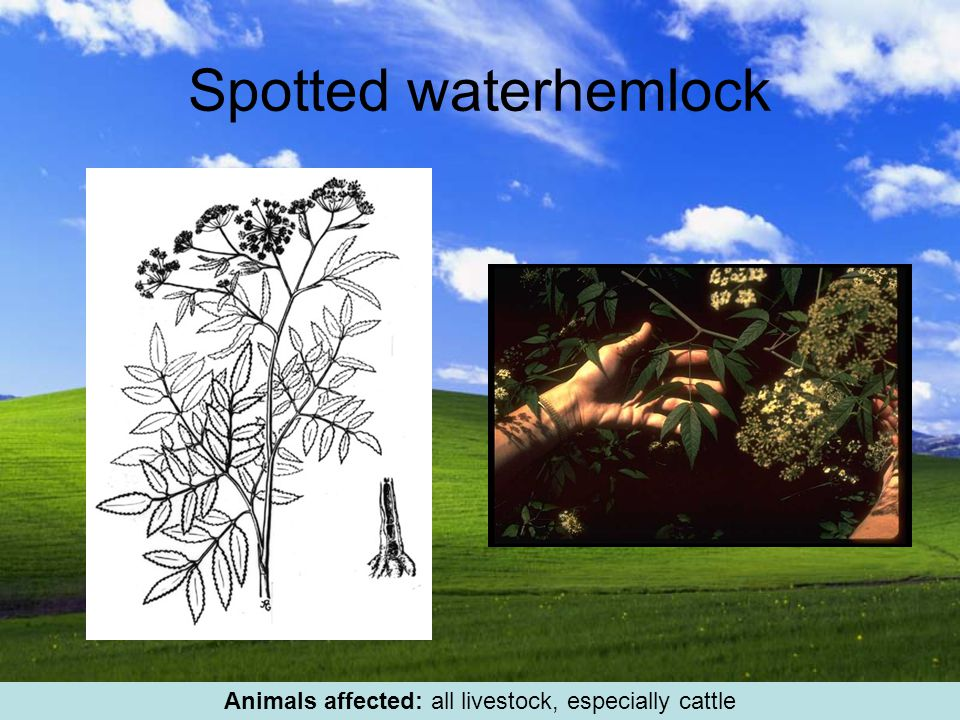 Spotted waterhemlock Animals affected: all livestock, especially cattle