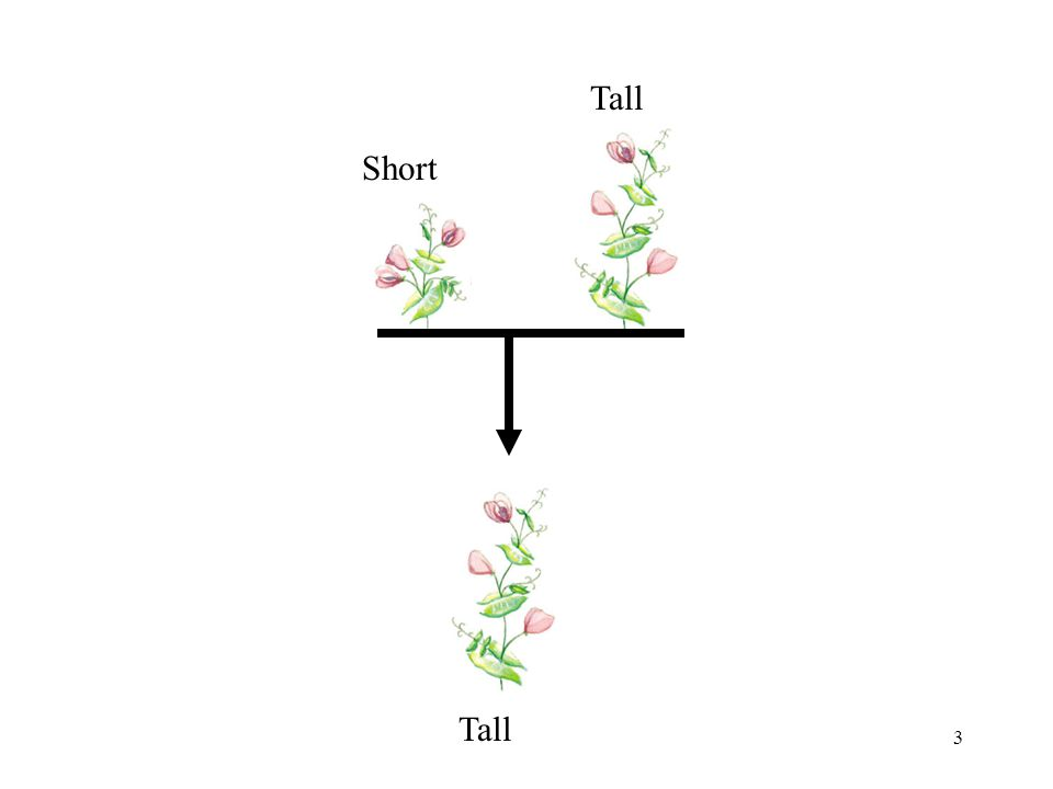 4 Mendel's Hypotheses Each parent has two factors (alleles) Each parent gives one of those factors to the offspring Tall has TT Short has tt Tall is dominant Short is recessive