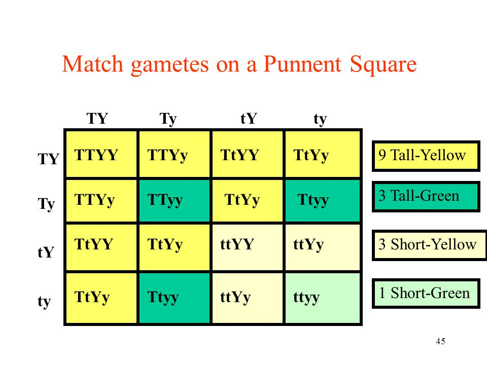 45 9 Tall-Yellow Match gametes on a Punnent Square TY Ty tY ty TYTytYty TtYy TTYYTTYyTtYY TTYyTTyyTtyy TtYYTtYyttYYttYy TtYyTtyyttYyttyy 3 Tall-Green 3 Short-Yellow 1 Short-Green
