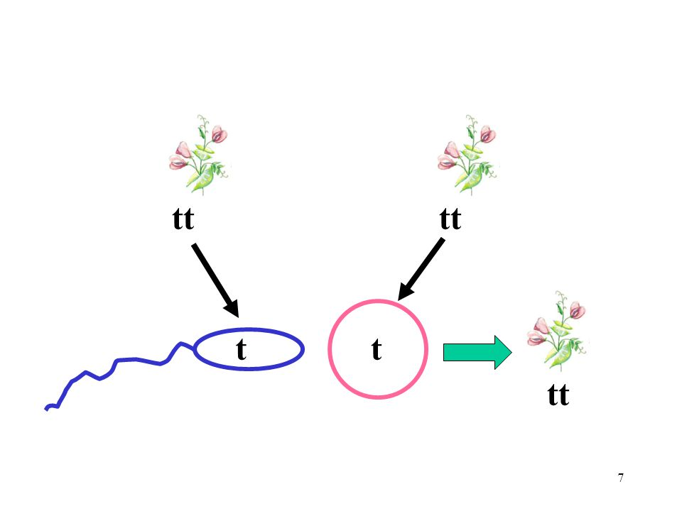 8 Law of Segregation Alleles separate during gamete production Gametes have one allele for each trait During fertilization gametes combine at random to form individuals of the next generation