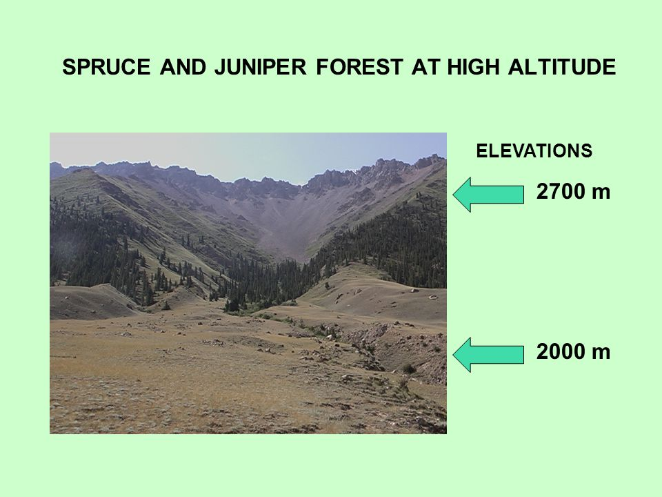 SPRUCE AND JUNIPER FOREST AT HIGH ALTITUDE ELEVATIONS 2700 m 2000 m
