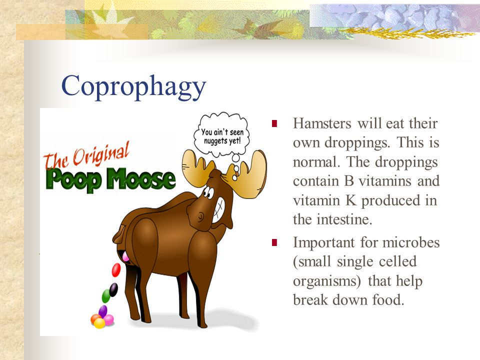 Coprophagy Hamsters will eat their own droppings. This is normal.