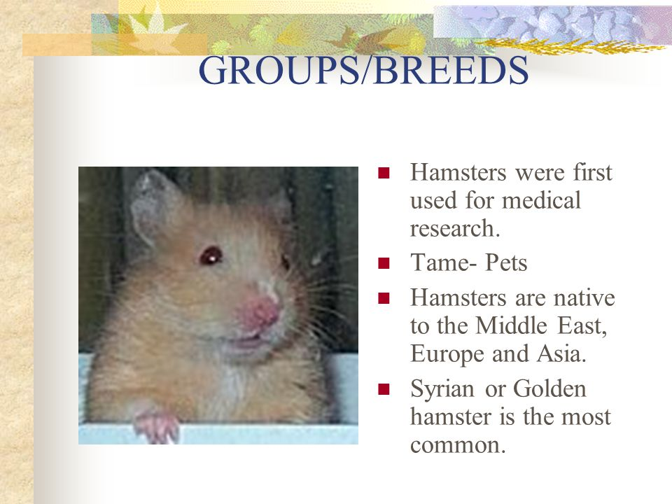 GROUPS/BREEDS Hamsters were first used for medical research.