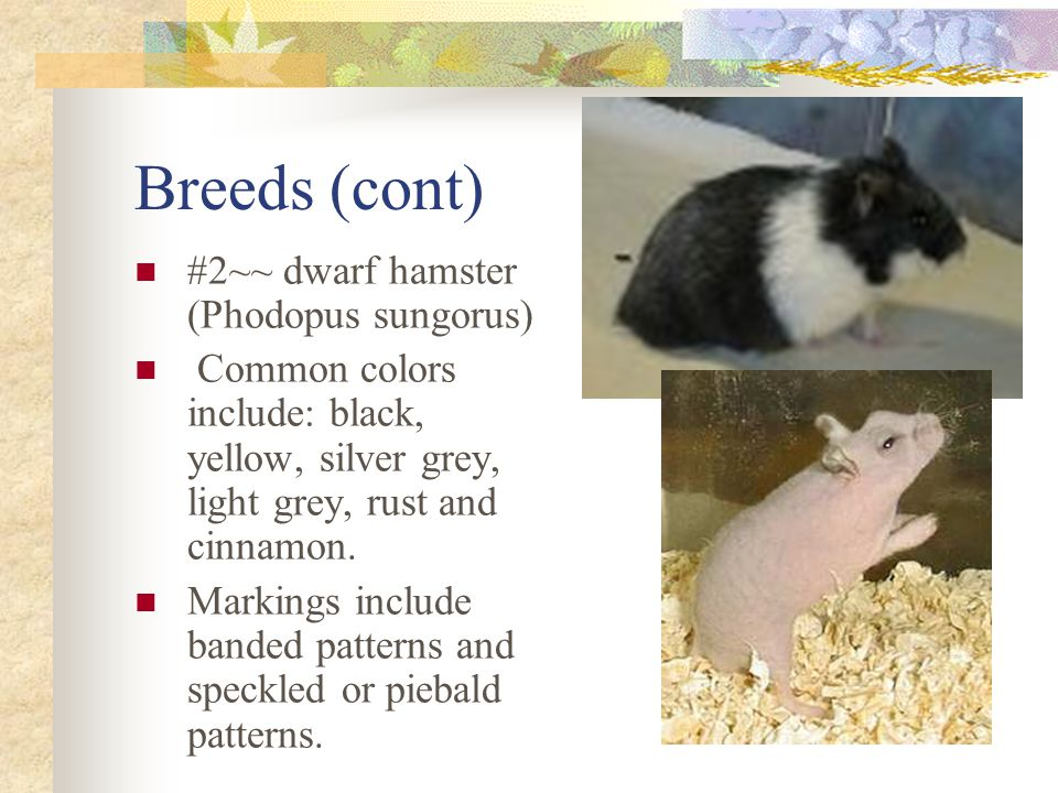 Breeds (cont) #2~~ dwarf hamster (Phodopus sungorus) Common colors include: black, yellow, silver grey, light grey, rust and cinnamon.