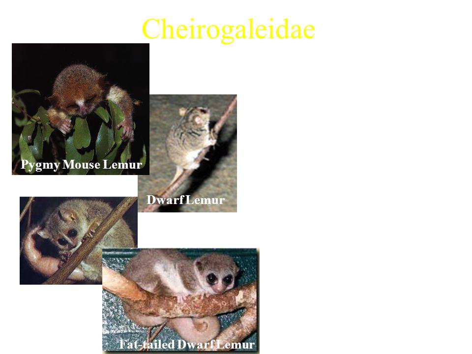 Cheirogaleidae 5 extant genera Examples: –Pygmy Mouse Lemur (Microcebus myoxinus) –Coquerel's Dwarf Lemur (Mirza coquereli) –Fat-tailed Dwarf Lemur (C