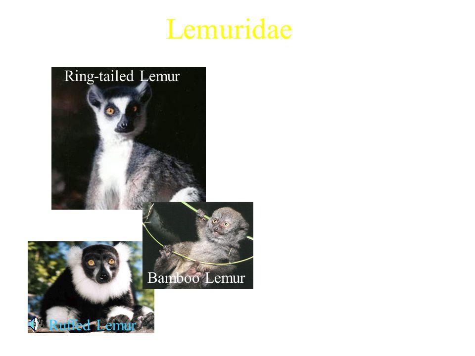 Lemuridae 4 extant genera Examples: –Ring-tailed Lemur (Lemur Catta) –Ruffed Lemur (Varecia variegata) –Gray Bamboo Lemur (Hapalemur griseus) Characte