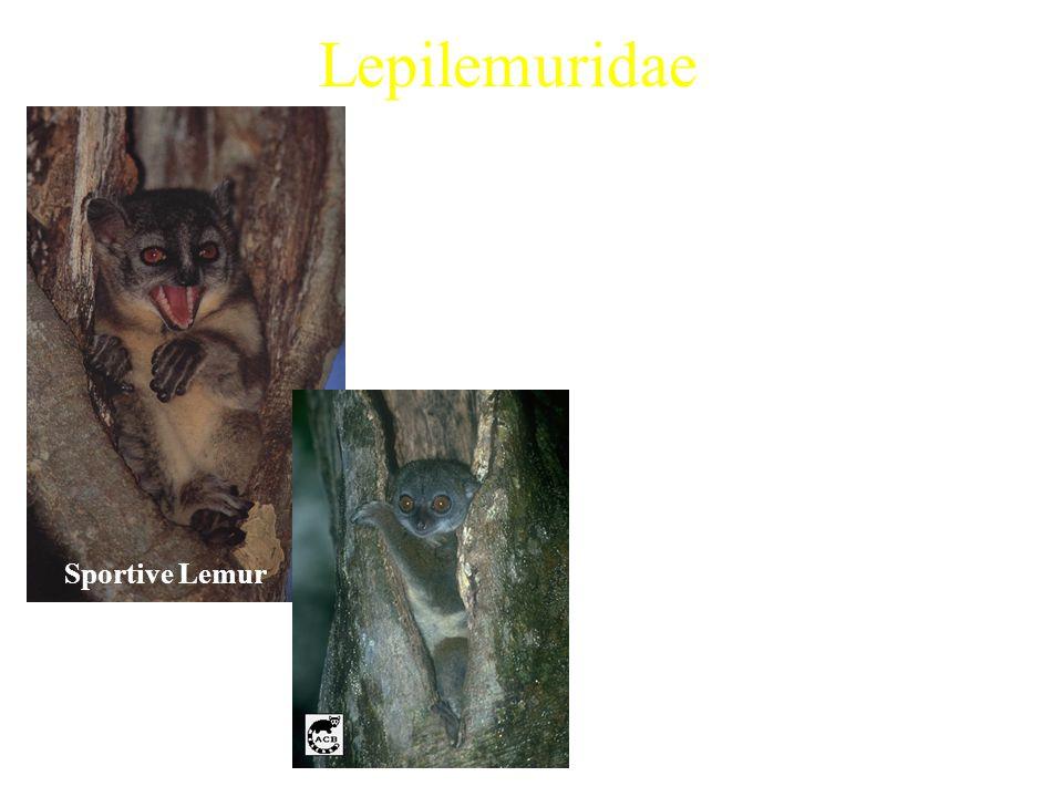 Lepilemuridae 1 extant genus Examples: –White-footed Sportive Lemur (Lepilemur leucopus) Characteristics: –Average weight ranging from 0.5-1.0kg –Noct