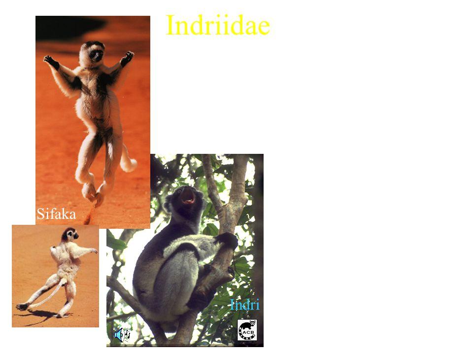 Indriidae 3 extant genera Includes: –Woolly Lemur (Avahi) –Sifaka (Propithecus) –Indri (Indri indri) Characteristics: –Average weight ranging from 0.7