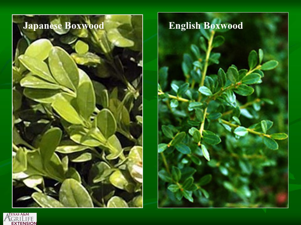 Japanese BoxwoodEnglish Boxwood