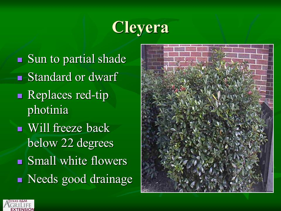 Cleyera Sun to partial shade Sun to partial shade Standard or dwarf Standard or dwarf Replaces red-tip photinia Replaces red-tip photinia Will freeze back below 22 degrees Will freeze back below 22 degrees Small white flowers Small white flowers Needs good drainage Needs good drainage