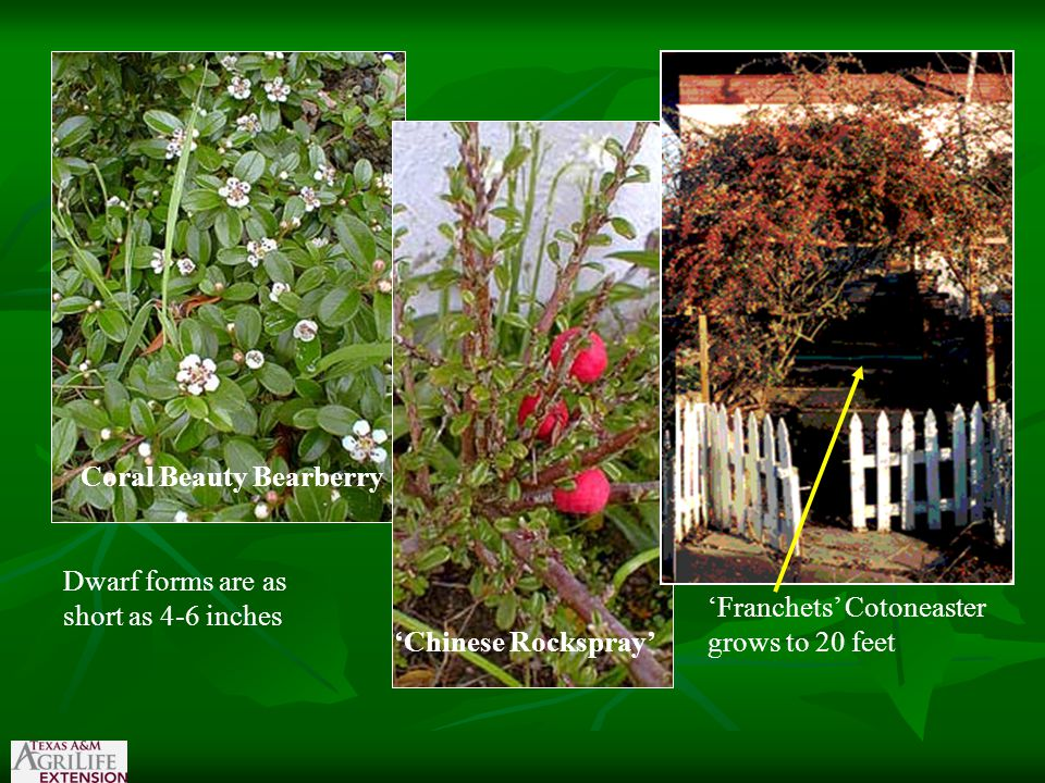 Coral Beauty Bearberry 'Chinese Rockspray' 'Franchets' Cotoneaster grows to 20 feet Dwarf forms are as short as 4-6 inches