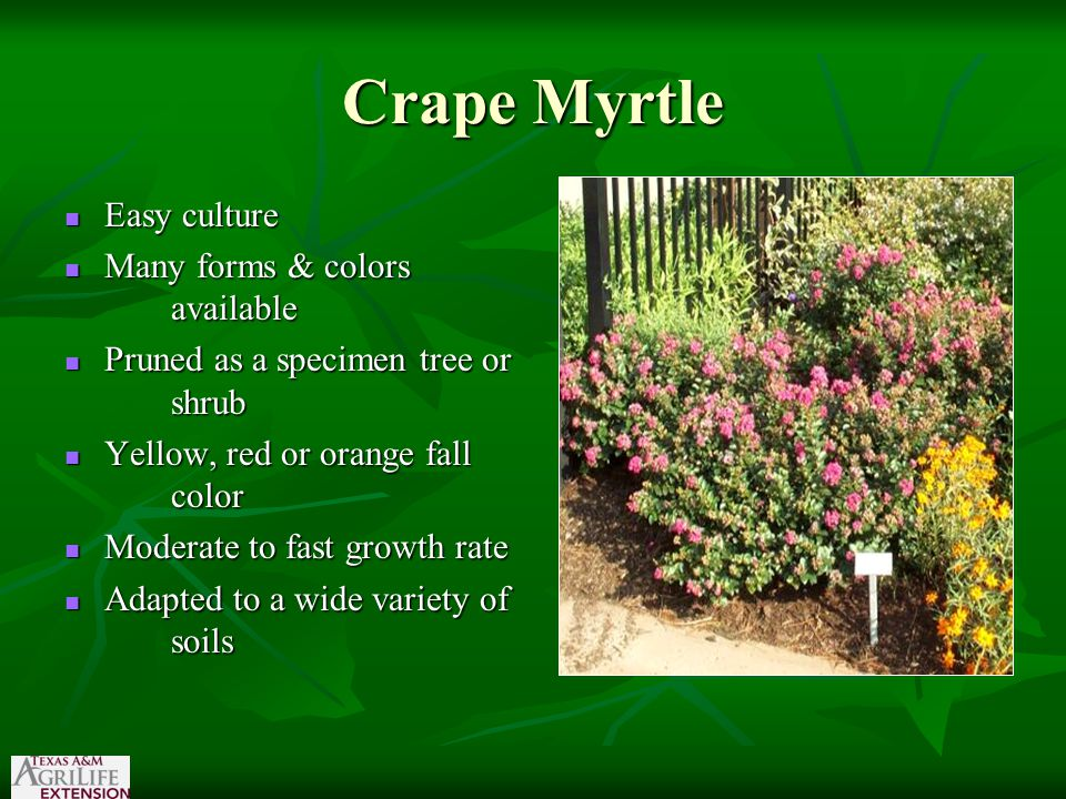Crape Myrtle Easy culture Easy culture Many forms & colors available Many forms & colors available Pruned as a specimen tree or shrub Pruned as a spec