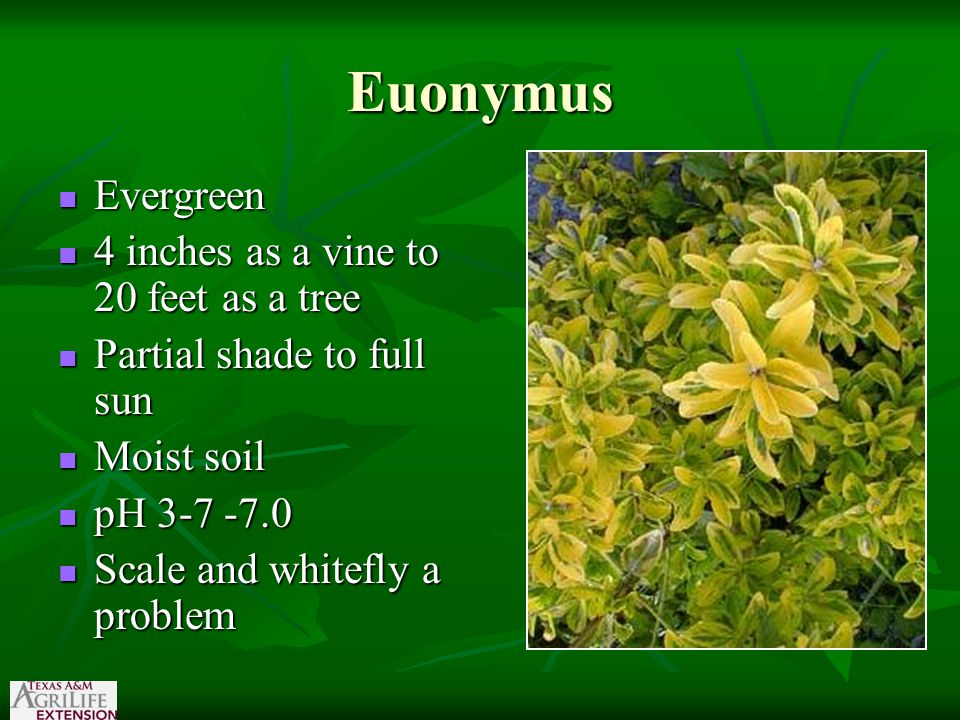 Euonymus Evergreen Evergreen 4 inches as a vine to 20 feet as a tree 4 inches as a vine to 20 feet as a tree Partial shade to full sun Partial shade t