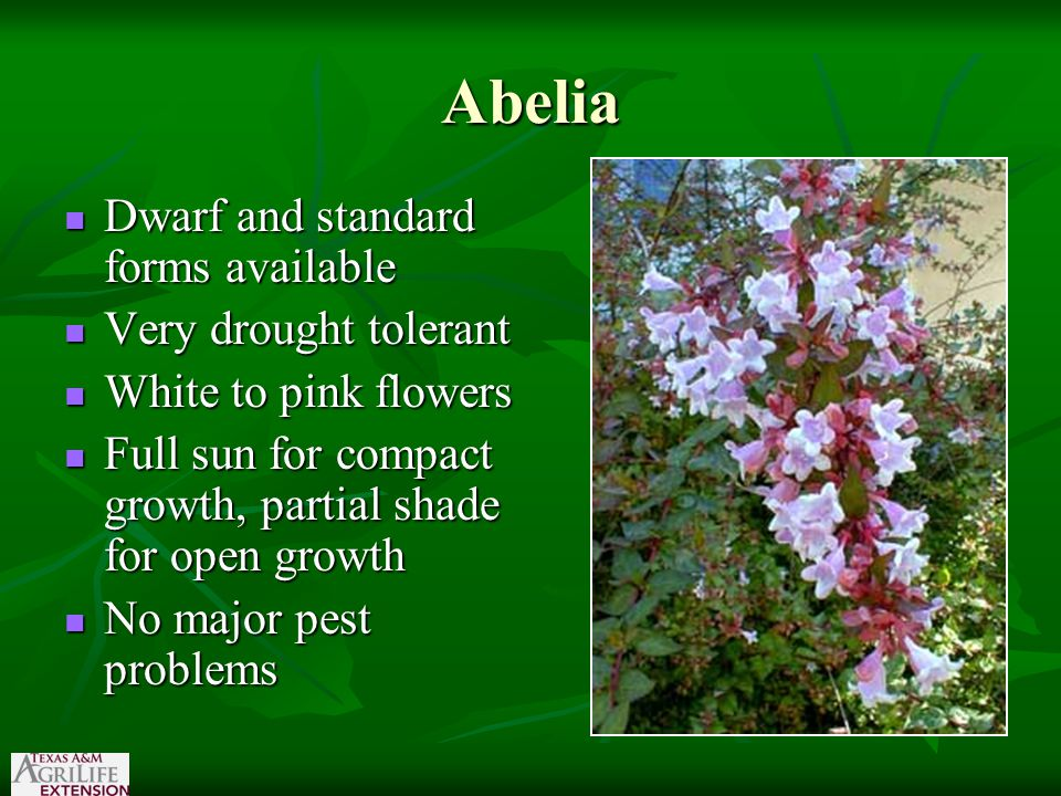Abelia Dwarf and standard forms available Dwarf and standard forms available Very drought tolerant Very drought tolerant White to pink flowers White t