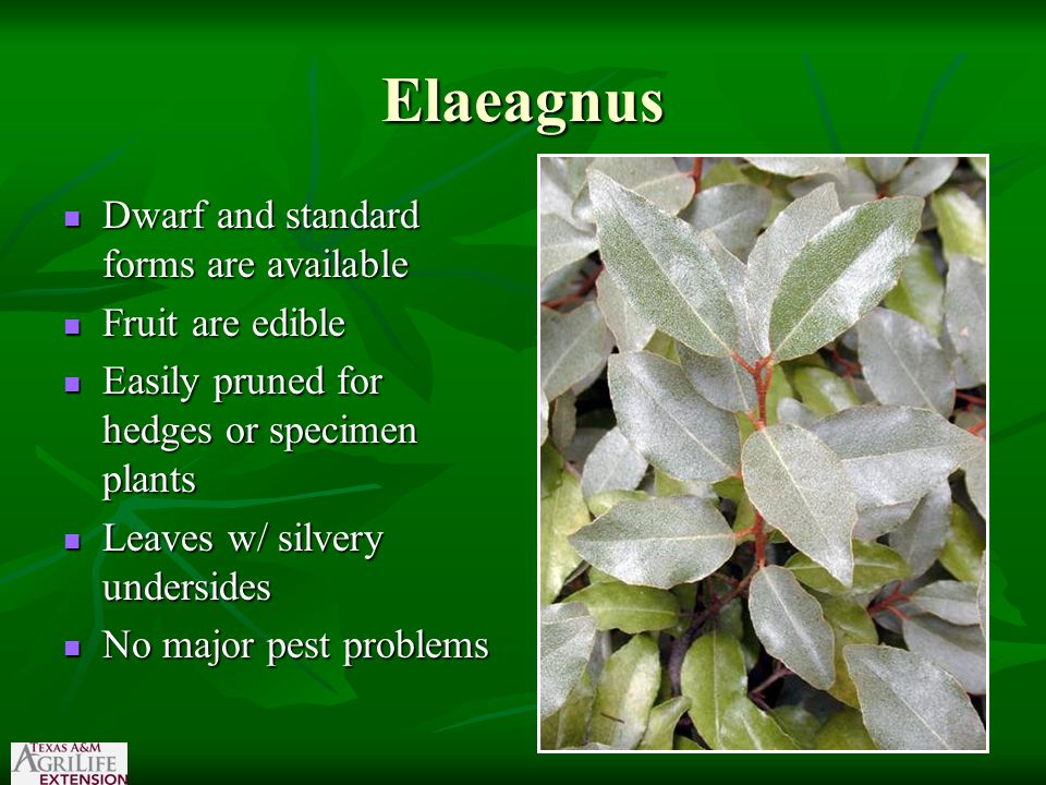Elaeagnus Dwarf and standard forms are available Dwarf and standard forms are available Fruit are edible Fruit are edible Easily pruned for hedges or specimen plants Easily pruned for hedges or specimen plants Leaves w/ silvery undersides Leaves w/ silvery undersides No major pest problems No major pest problems