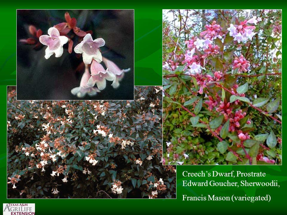 Creech's Dwarf, Prostrate Edward Goucher, Sherwoodii, Francis Mason (variegated)