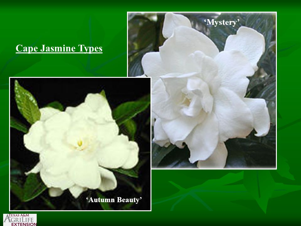 Cape Jasmine Types 'Mystery' 'Autumn Beauty'