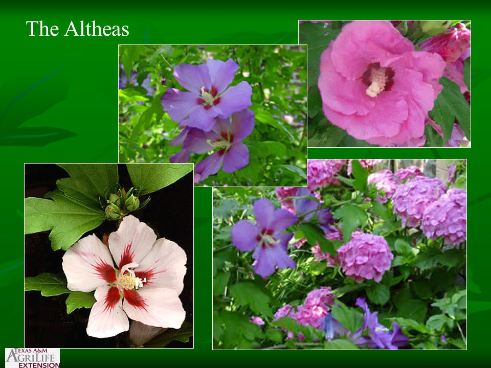 The Altheas