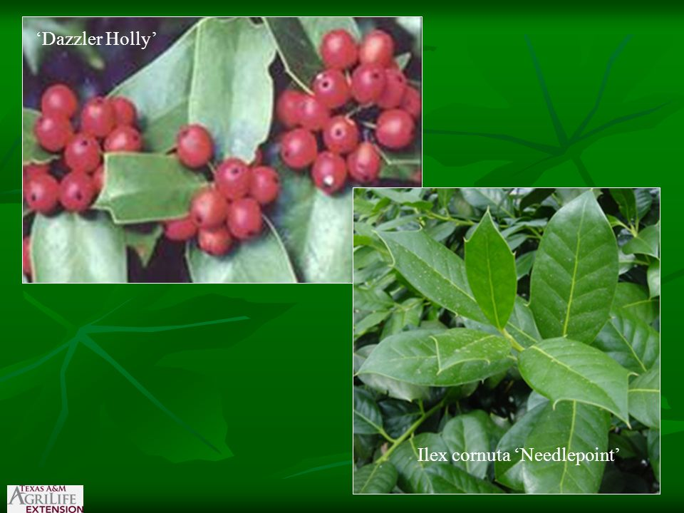'Dazzler Holly' Ilex cornuta 'Needlepoint'
