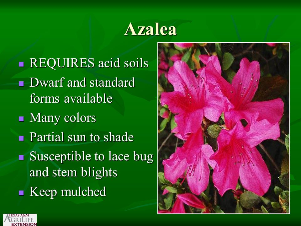 Azalea REQUIRES acid soils REQUIRES acid soils Dwarf and standard forms available Dwarf and standard forms available Many colors Many colors Partial sun to shade Partial sun to shade Susceptible to lace bug and stem blights Susceptible to lace bug and stem blights Keep mulched Keep mulched