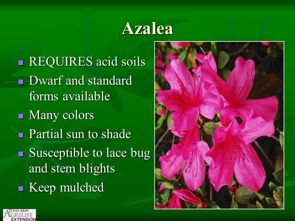 'Gold Edge Sky' Duranta 'Cloudy Sky' Duranta' 'Purple Sky Flower'
