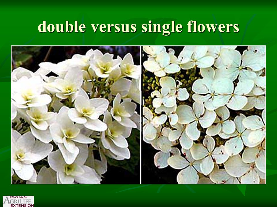 double versus single flowers