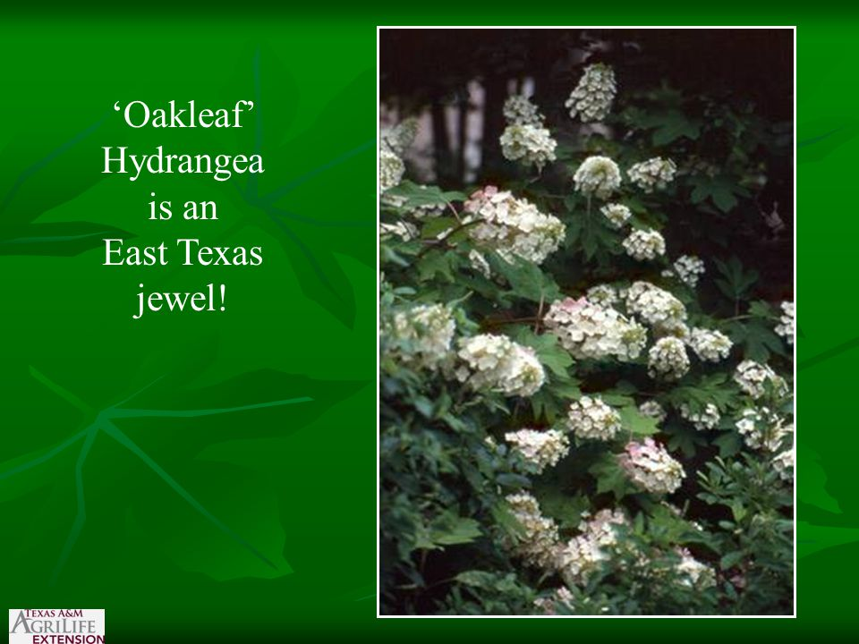 'Oakleaf' Hydrangea is an East Texas jewel!