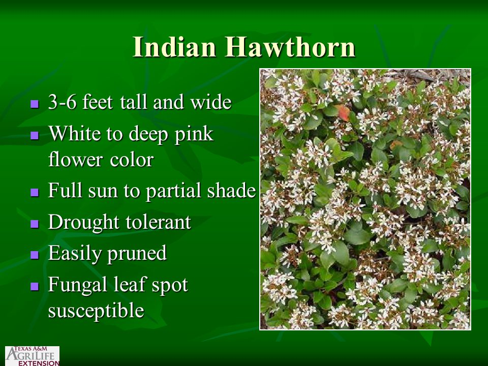Indian Hawthorn 3-6 feet tall and wide 3-6 feet tall and wide White to deep pink flower color White to deep pink flower color Full sun to partial shad