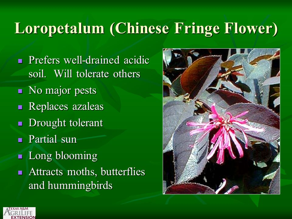Loropetalum (Chinese Fringe Flower) Prefers well-drained acidic soil. Will tolerate others Prefers well-drained acidic soil. Will tolerate others No m
