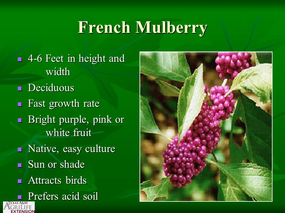 French Mulberry 4-6 Feet in height and width 4-6 Feet in height and width Deciduous Deciduous Fast growth rate Fast growth rate Bright purple, pink or white fruit Bright purple, pink or white fruit Native, easy culture Native, easy culture Sun or shade Sun or shade Attracts birds Attracts birds Prefers acid soil Prefers acid soil