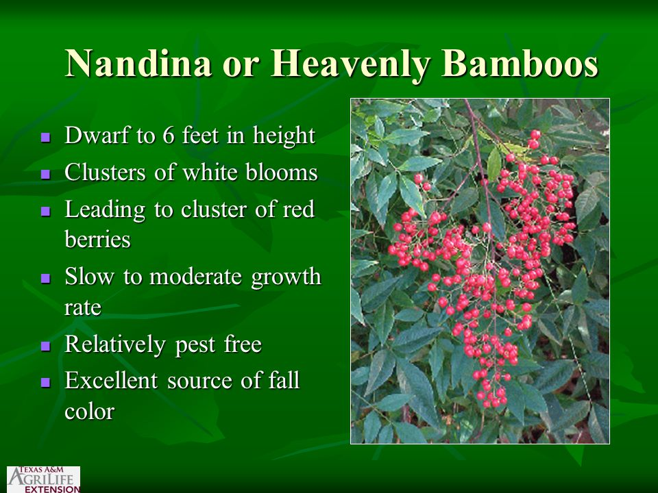 Nandina or Heavenly Bamboos Dwarf to 6 feet in height Dwarf to 6 feet in height Clusters of white blooms Clusters of white blooms Leading to cluster of red berries Leading to cluster of red berries Slow to moderate growth rate Slow to moderate growth rate Relatively pest free Relatively pest free Excellent source of fall color Excellent source of fall color