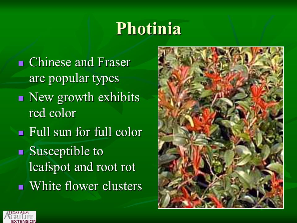 Photinia Chinese and Fraser are popular types Chinese and Fraser are popular types New growth exhibits red color New growth exhibits red color Full sun for full color Full sun for full color Susceptible to leafspot and root rot Susceptible to leafspot and root rot White flower clusters White flower clusters