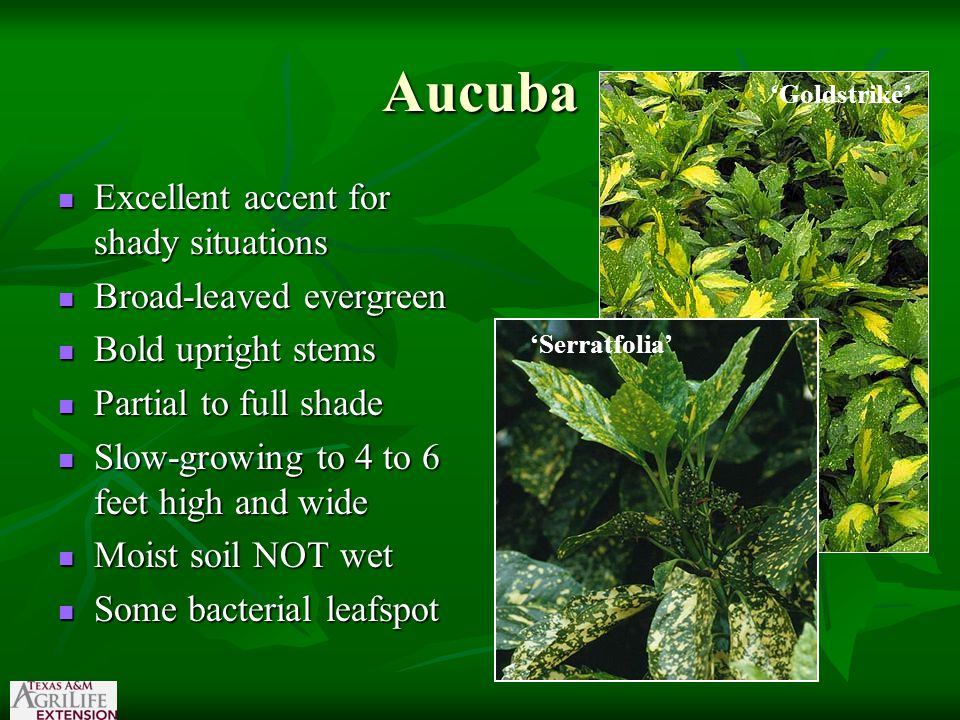 Aucuba Excellent accent for shady situations Excellent accent for shady situations Broad-leaved evergreen Broad-leaved evergreen Bold upright stems Bold upright stems Partial to full shade Partial to full shade Slow-growing to 4 to 6 feet high and wide Slow-growing to 4 to 6 feet high and wide Moist soil NOT wet Moist soil NOT wet Some bacterial leafspot Some bacterial leafspot 'Goldstrike' 'Serratfolia'