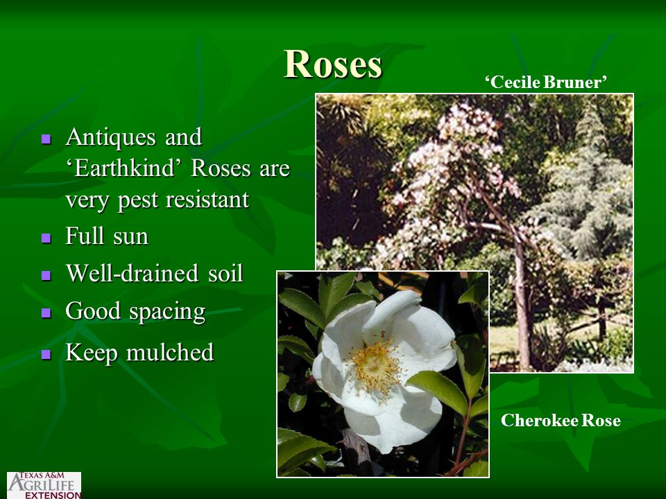 Roses Antiques and 'Earthkind' Roses are very pest resistant Antiques and 'Earthkind' Roses are very pest resistant Full sun Full sun Well-drained soil Well-drained soil Good spacing Good spacing Keep mulched Keep mulched 'Cecile Bruner' Cherokee Rose