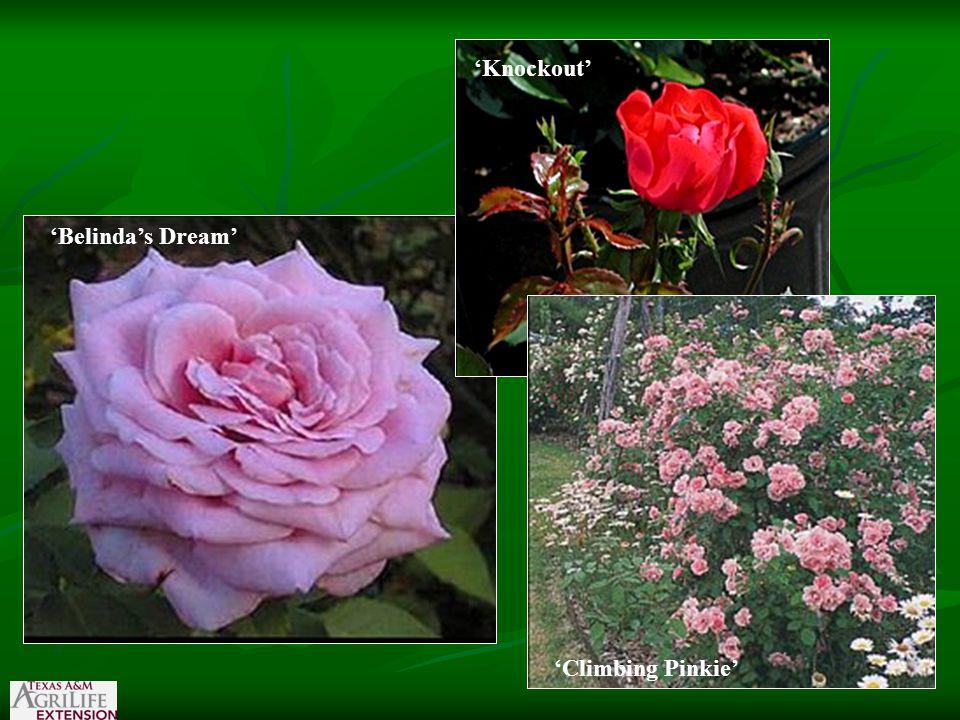 'Belinda's Dream' 'Climbing Pinkie' 'Knockout' 'Climbing Pinkie'