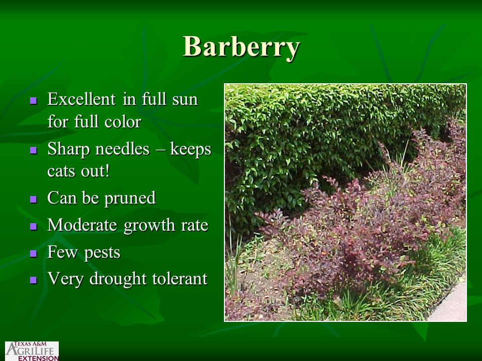 Barberry Excellent in full sun for full color Excellent in full sun for full color Sharp needles – keeps cats out.