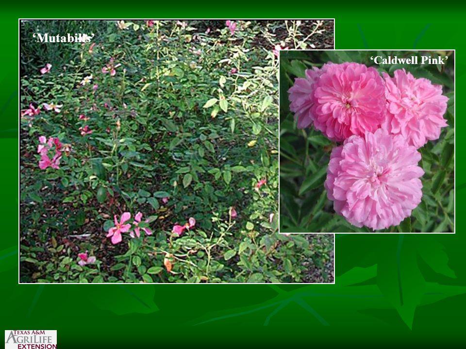 'Mutabilis' 'Caldwell Pink'