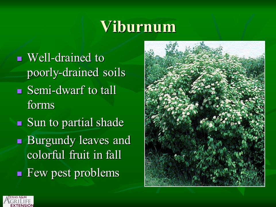 Viburnum Well-drained to poorly-drained soils Well-drained to poorly-drained soils Semi-dwarf to tall forms Semi-dwarf to tall forms Sun to partial shade Sun to partial shade Burgundy leaves and colorful fruit in fall Burgundy leaves and colorful fruit in fall Few pest problems Few pest problems