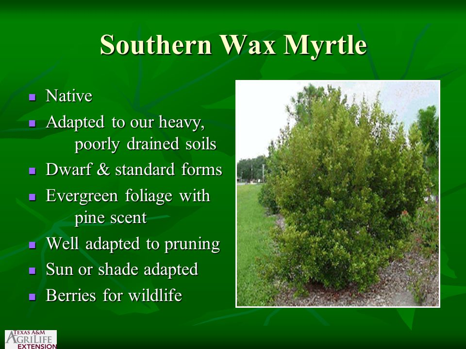 Southern Wax Myrtle Native Native Adapted to our heavy, poorly drained soils Adapted to our heavy, poorly drained soils Dwarf & standard forms Dwarf & standard forms Evergreen foliage with pine scent Evergreen foliage with pine scent Well adapted to pruning Well adapted to pruning Sun or shade adapted Sun or shade adapted Berries for wildlife Berries for wildlife