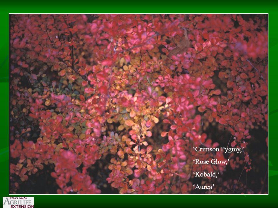 'Crimson Pygmy,' 'Rose Glow,' 'Kobald,' 'Aurea'