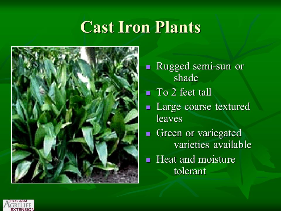Cast Iron Plants Rugged semi-sun or shade Rugged semi-sun or shade To 2 feet tall To 2 feet tall Large coarse textured leaves Large coarse textured leaves Green or variegated varieties available Green or variegated varieties available Heat and moisture tolerant Heat and moisture tolerant