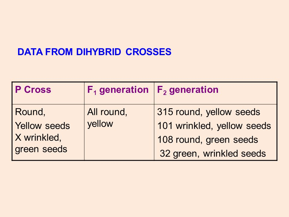 P CrossF 1 generationF 2 generation Round, Yellow seeds X wrinkled, green seeds All round, yellow 315 round, yellow seeds 101 wrinkled, yellow seeds 108 round, green seeds 32 green, wrinkled seeds DATA FROM DIHYBRID CROSSES