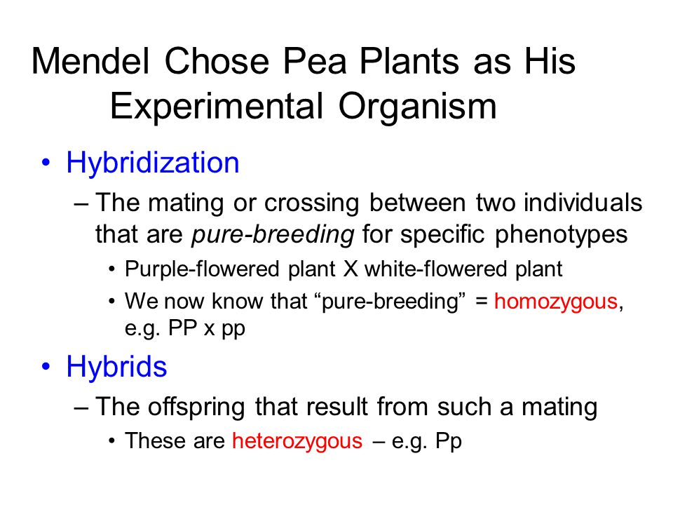 Mendel Chose Pea Plants as His Experimental Organism Hybridization –The mating or crossing between two individuals that are pure-breeding for specific phenotypes Purple-flowered plant X white-flowered plant We now know that pure-breeding = homozygous, e.g.