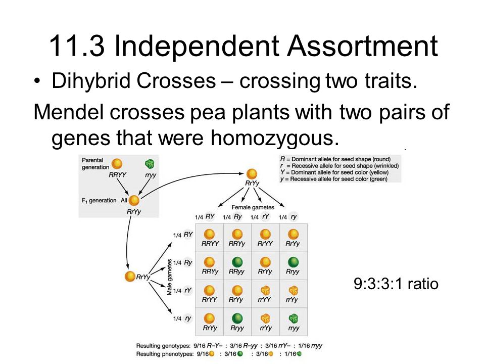 11.3 Independent Assortment Dihybrid Crosses – crossing two traits. Mendel crosses pea plants with two pairs of genes that were homozygous. 9:3:3:1 ra