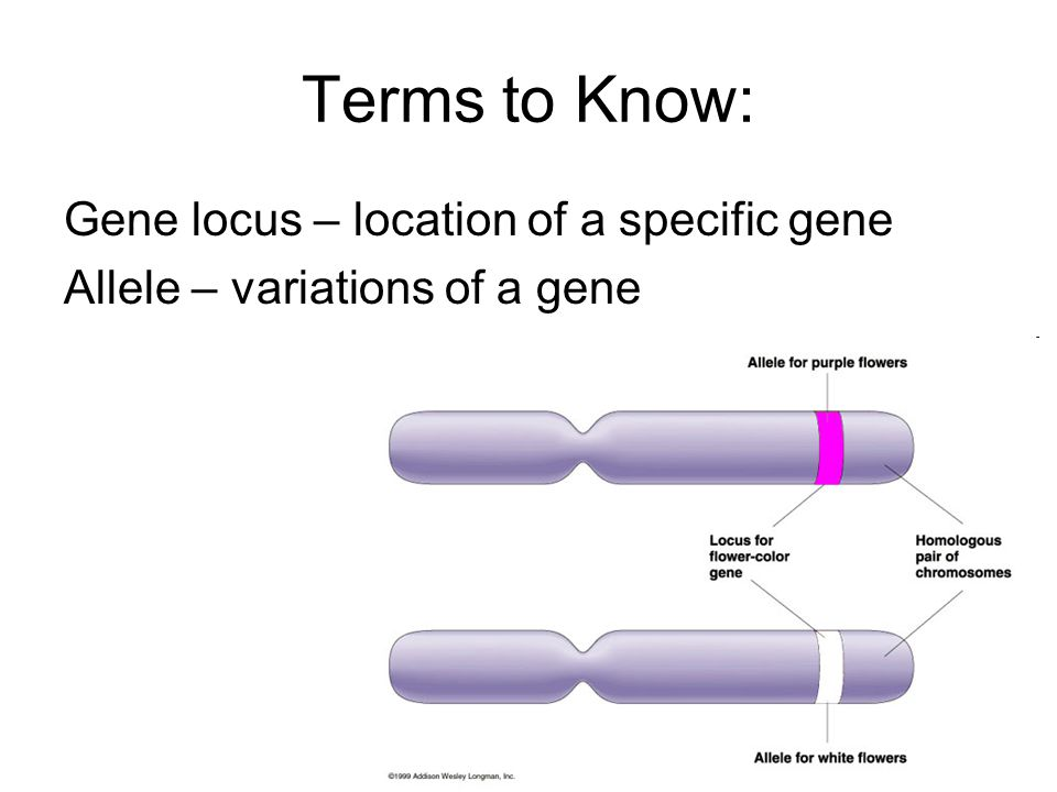 Terms to Know: Gene locus – location of a specific gene Allele – variations of a gene