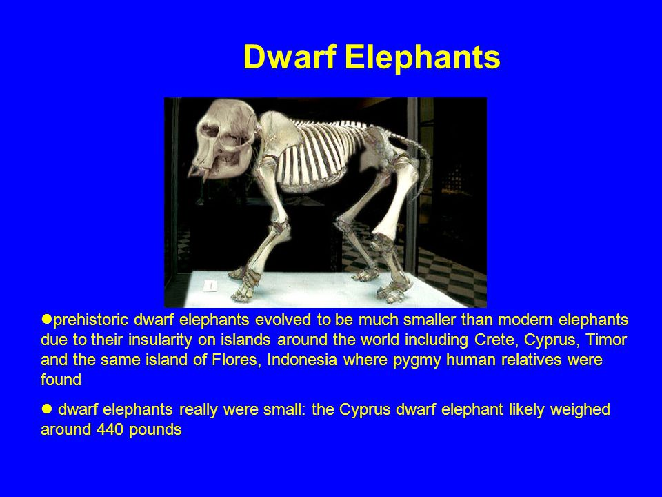 Dwarf Elephants prehistoric dwarf elephants evolved to be much smaller than modern elephants due to their insularity on islands around the world inclu