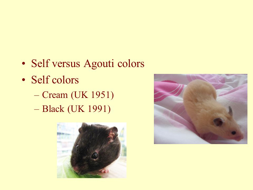 Self versus Agouti colors Self colors –Cream (UK 1951) –Black (UK 1991)